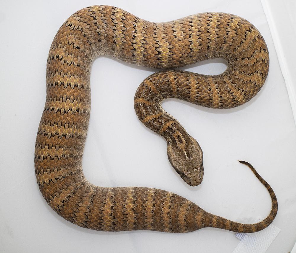 Bull Snake Bite Mark
