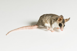 Mouse Possum