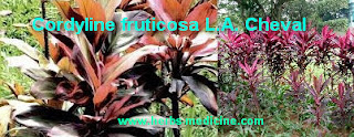 Hemorrhoids use Cordyline fruticosa