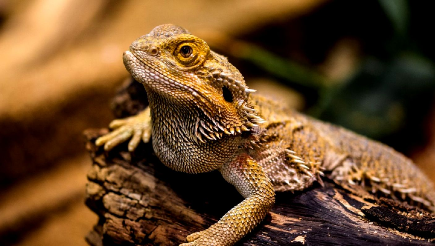 The True Cost of Owning a Bearded Dragon Bearded Dragon Price Guide