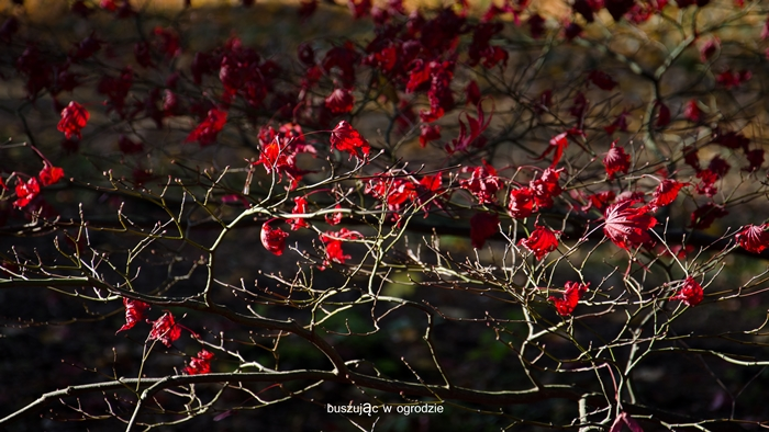 Rogów, arboretum, klony
