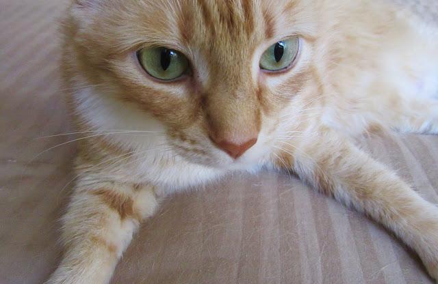 A tabby cat named Hootie