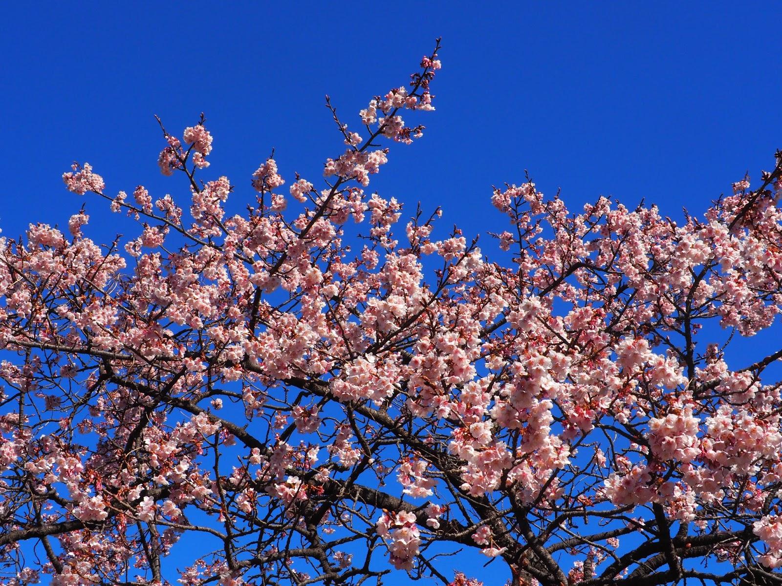 Shinjuku Gyoen National Garden cherry blossoms