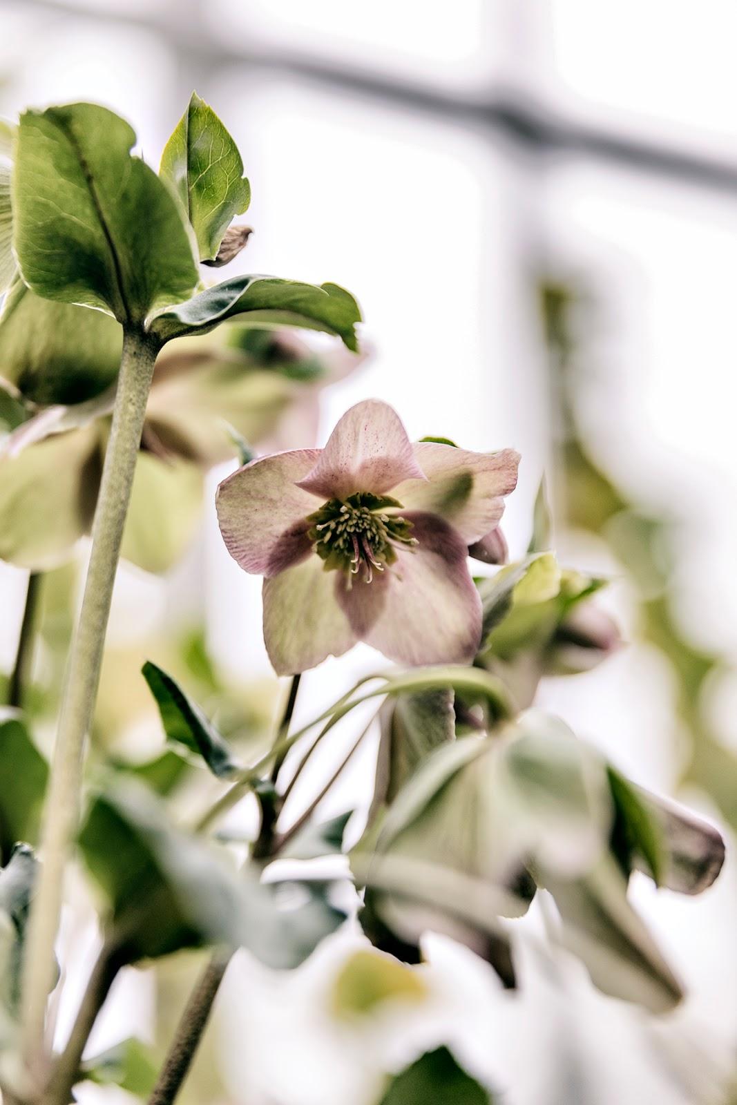 Talvipuutarha, Helsinki, myhelsinki, visithelsinki, garden, orangerie, puutarha, kasvit, kukat, viherkasvit, valokuvaaja, Frida Steiner, Visualaddict, visualaddictfrida, flower