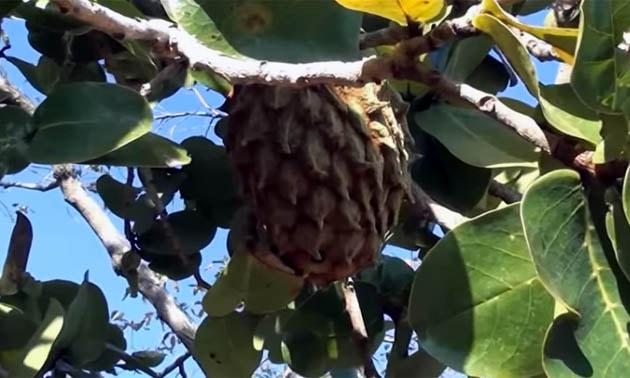 Marolo (Annona crassiflora Mart.)