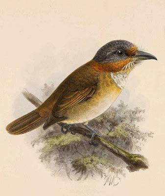 Rufous necked Puffbird