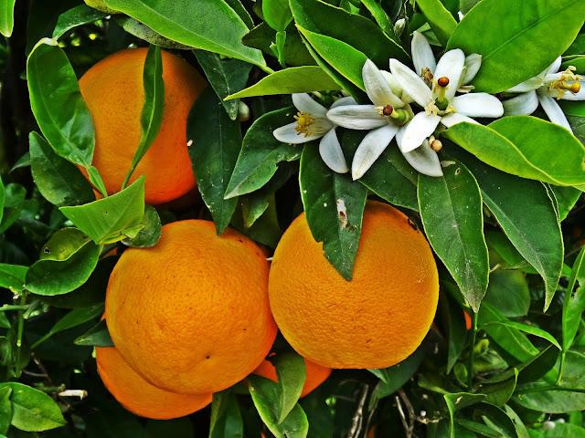 gaje pomarańczowe na Krecie