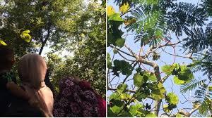 Subhanallah, Pohon Jati Berbuah Pisang di Karanganyar Ini Bikin Heboh dan Viral, Begini Ceritanya