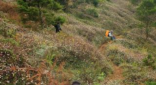 Padang bunga daisy puncak Gunung Prau Dieng