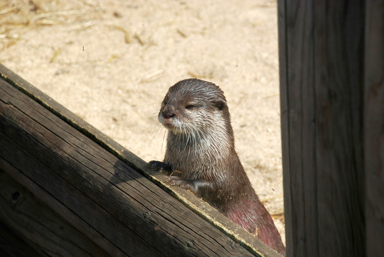 an otter looking out at paradise wildlife park