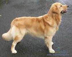 pusat jual anjing golden retriever di semarang,08999228381 ...