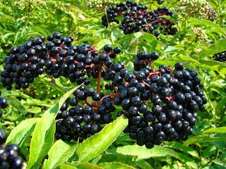 Elderberry Eropah