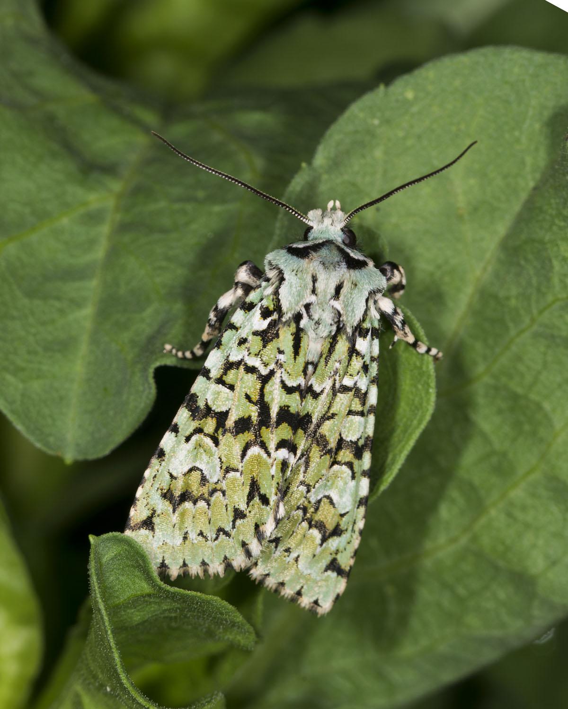 glamorgan moth recording group merveille du jour more images. Black Bedroom Furniture Sets. Home Design Ideas