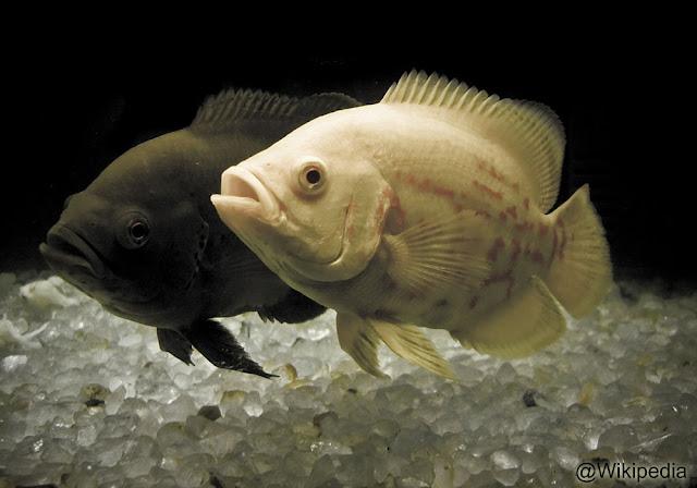 9 Jenis Ikan Oscar Terbaik Di Dunia