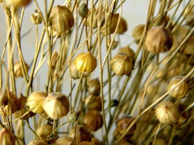 अलसी का पौधा