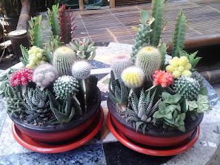souvenir minigarden tanaman hias kaktus
