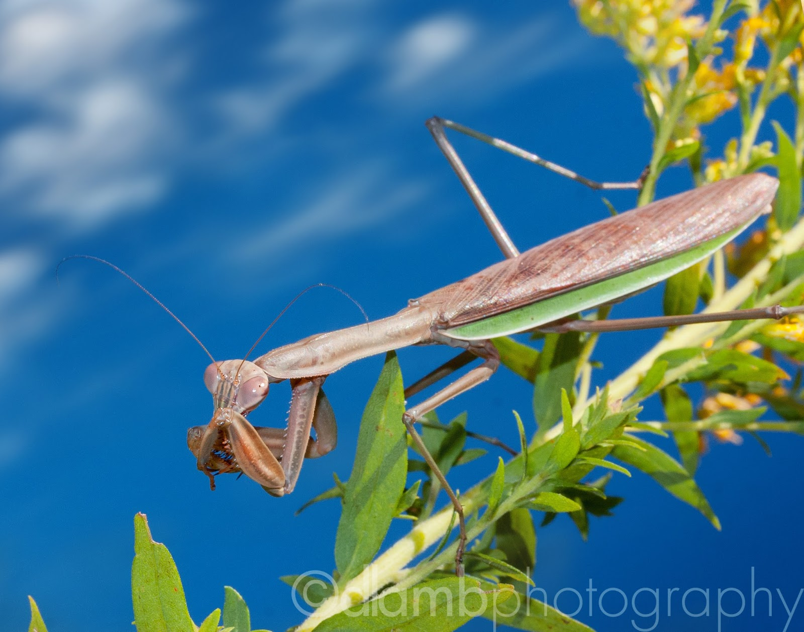 http://david-lamb.artistwebsites.com/featured/shy-mantis-on-a-sunny-day-david-lamb.html