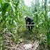 Producción de hoja de maíz para tamal