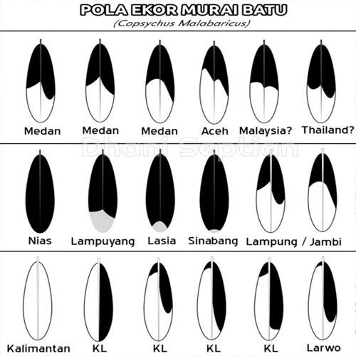 Ciri Ciri Ekor Burng Murai Batu, Gambar Ekor Burng Murai Batu Medan, lampung, Nias, Borneo, Aceh