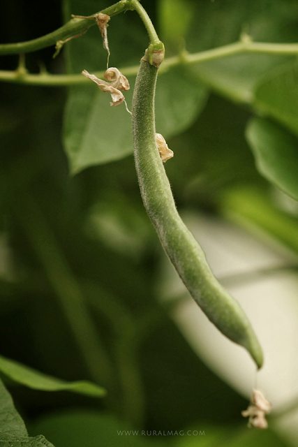 Bean growing on vine in the garden