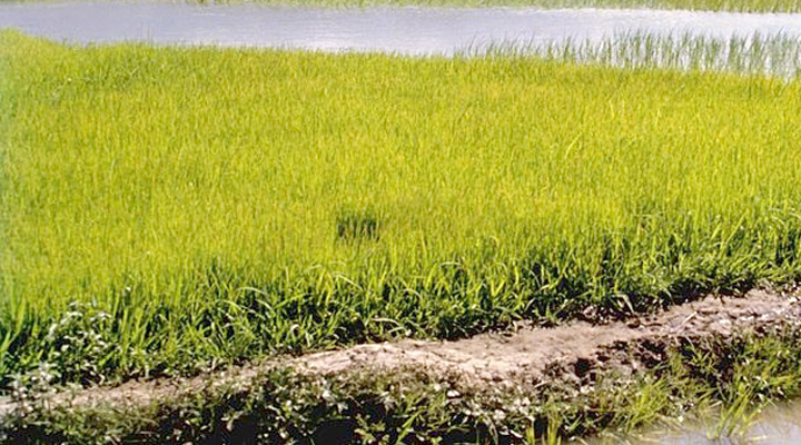 rice-paddy-field-in-amroha