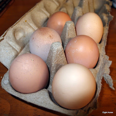eight acres: why hens stop laying eggs in winter (and what you can do about it)