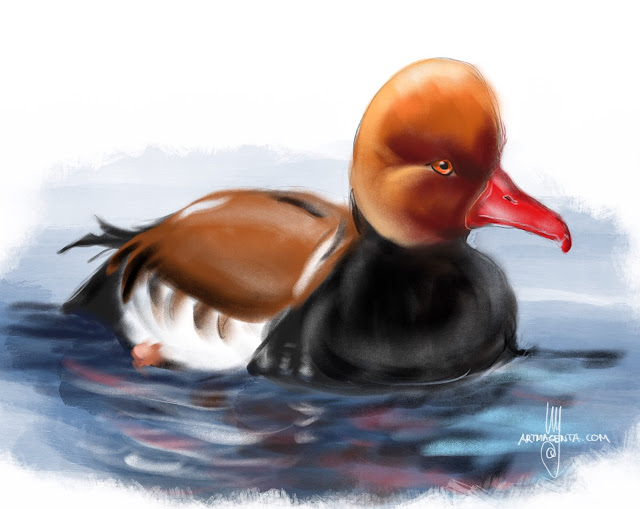 Red-crested pochard  bird painting by Artmagenta