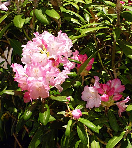 Rhododendron 'Yak'