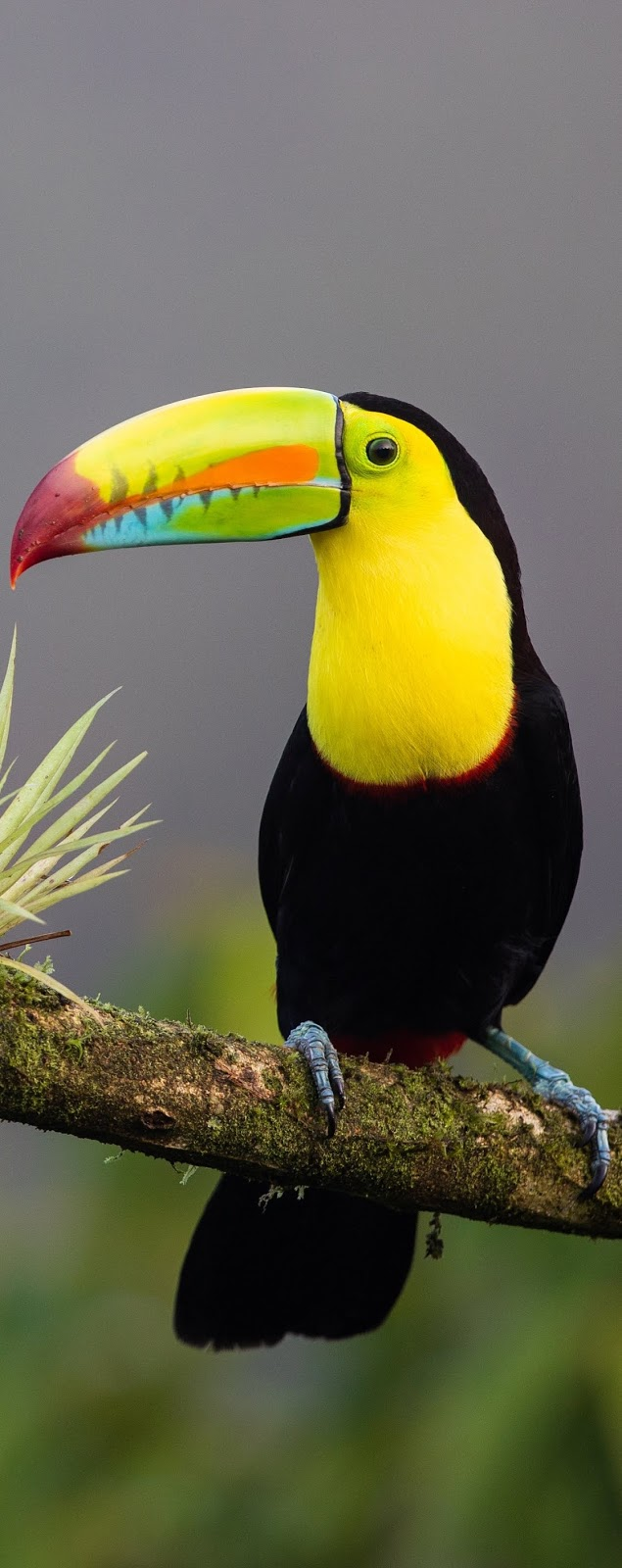 Picture of a keel-billed toucan.