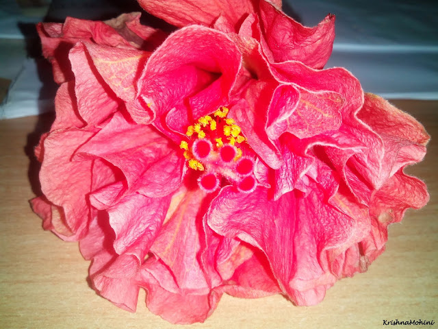 Image: Fading Red Hibiscus Flower