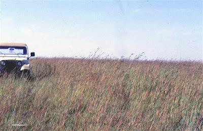 big bluestem, Andropogon gerardii in a prairie preserve