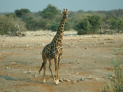 Etosha National Park, Namibia, giraffe