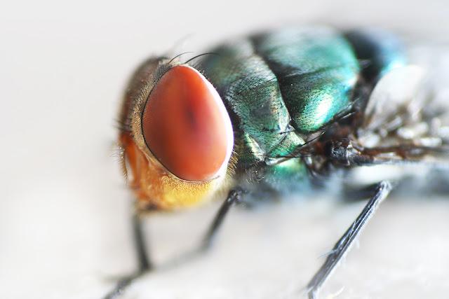 foto makro, makro, makro ekstrim, lensa kits, memaksimalkan lensa, macro photography, lalat