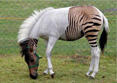 Zebroids 13 Hewan Hybrid Aneh Hasil Kawin Silang