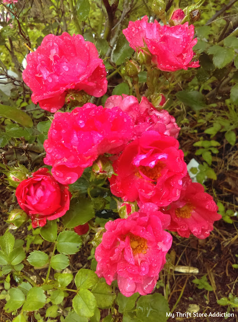 coral knock-out roses