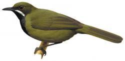 Androphobus viridis