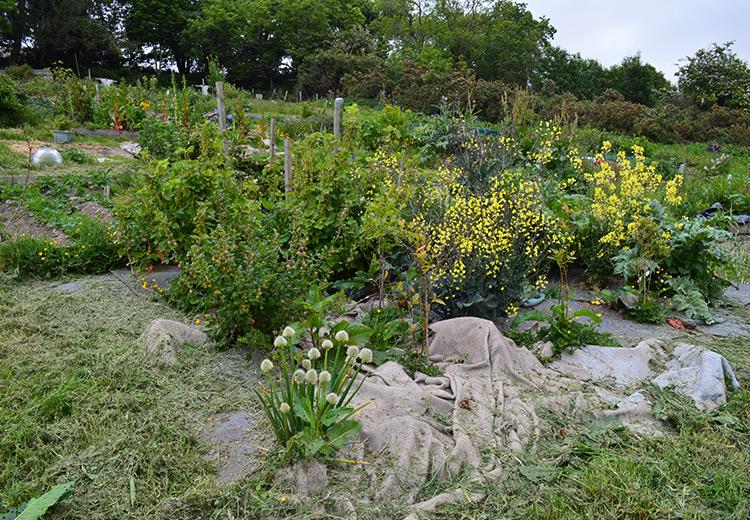Allotment Gardening Lovely Greens June 2015 Lovely Greens