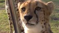 Muhteşem Çitalar Sevimli Yavru Çita Annesiyle İzle