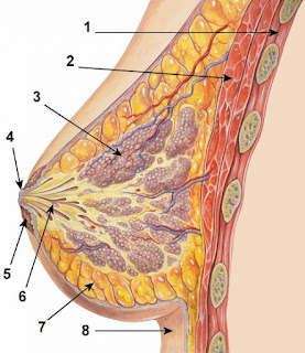 For some women it could be coming to fibrocystic thickening, which can feel under fingers as nodes. It is quite normal because the breast tissue is soft like sponge and really attracts and retains water.
