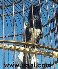 Pemahaman Dua Jenis Tipe Burung Kacer beserta Setting dan Rawatannya