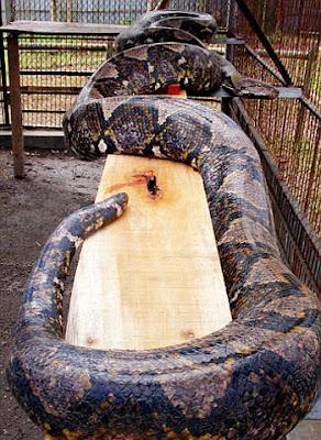 La Pitón más larga el mundo