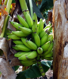 green-plantain-bunch-fruit-