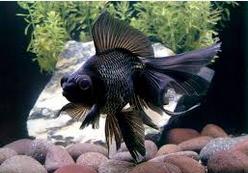 Jenis Jenis Ikan Koki Black Moor