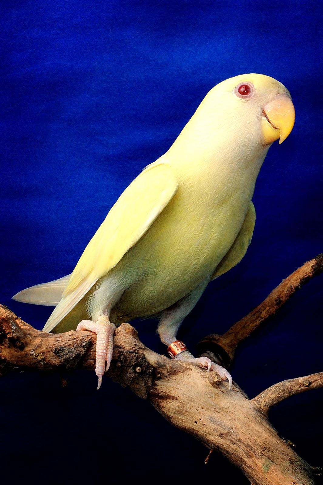 Philippine Lovebirds Fallows