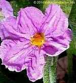 Eggplant Flower
