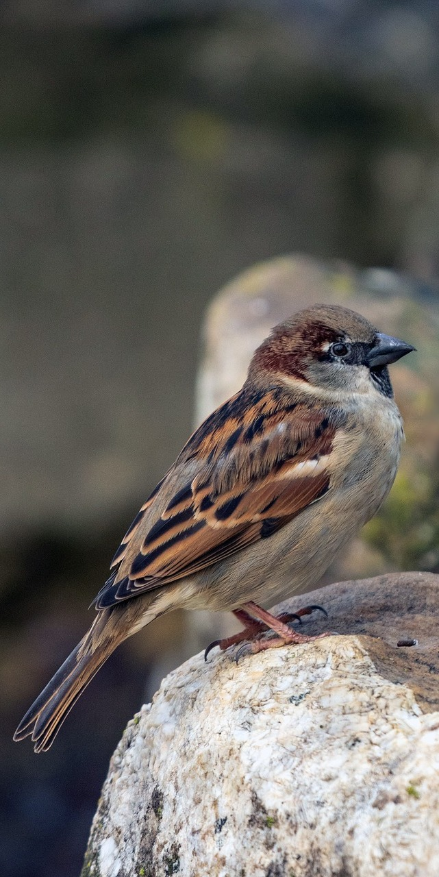 A sparrow on a rock.