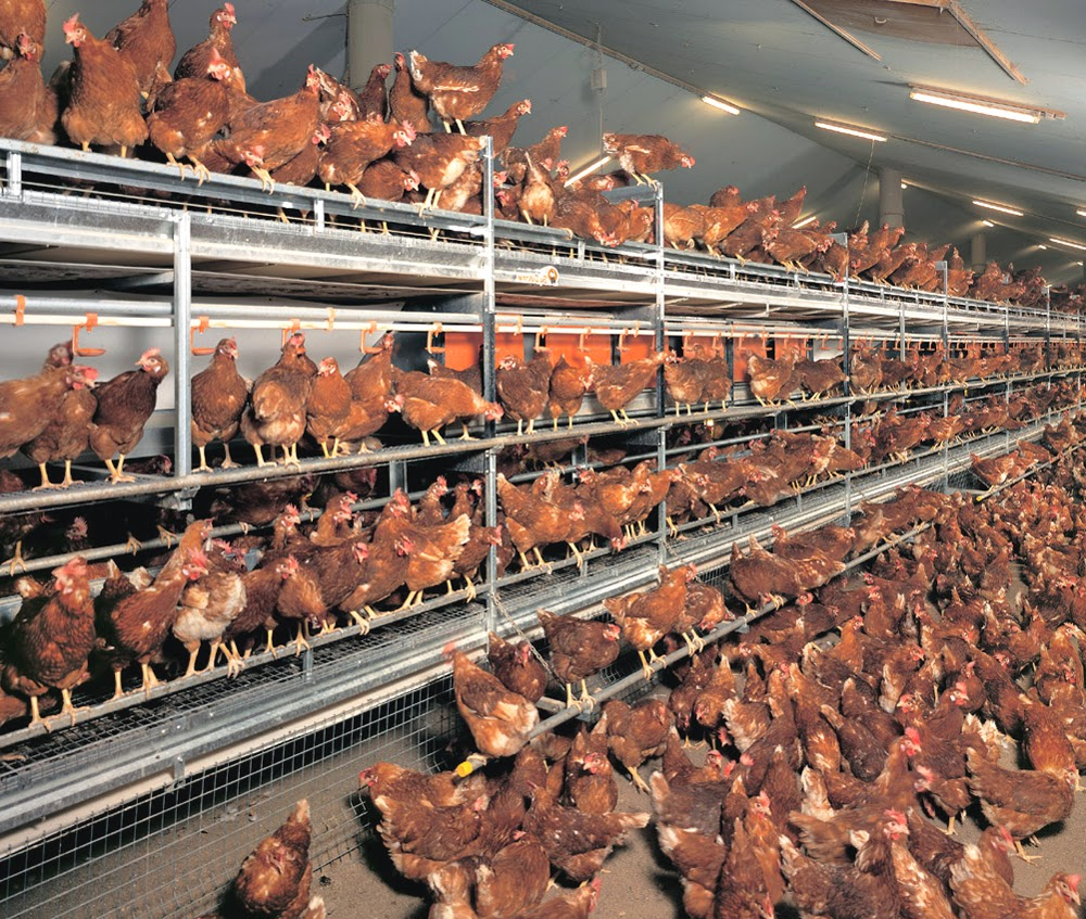 Layer poultry housing
