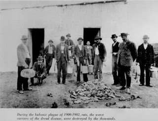 Destroyed rats, Brisbane, circa 1900-02. (John Oxley Library)