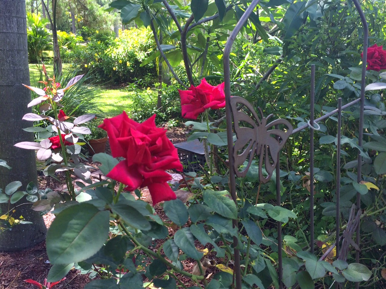 Dawns Garden Life Growing Roses In South Florida Of