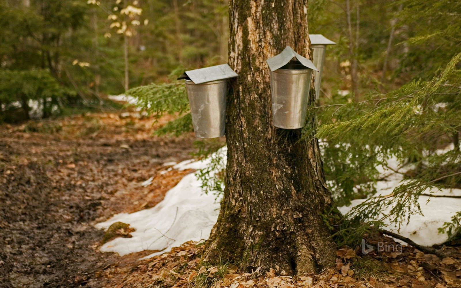 Sap-collecting buckets in Brome-Missisquoi, Quebec © Roderick Chen/SuperStock